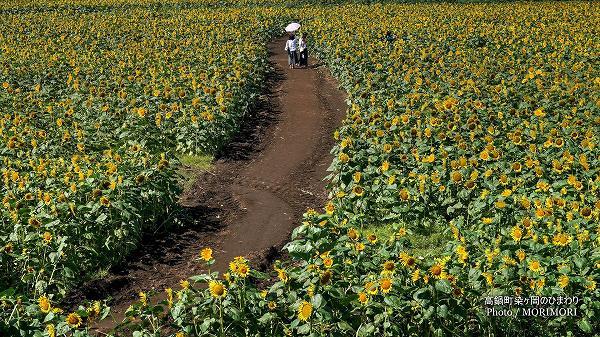 高鍋町染ヶ岡地区のひまわり畑