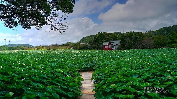 宮崎県 新富町 湖水ヶ池のハス