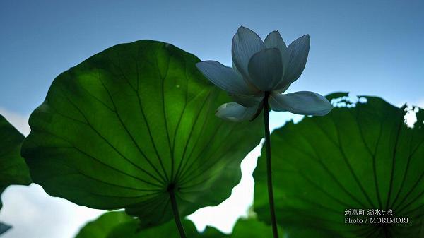 宮崎県 新富町 湖水ヶ池のハス 2