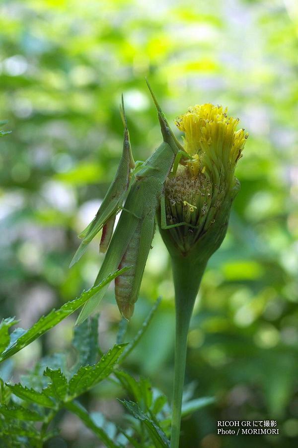 オンブバッタが花を食べていた