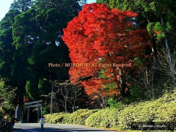 えびの市 白鳥神社鳥居横のイロハモミジの紅葉