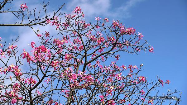 トックリキワタ(パラボラチョ/パロボラッチョ)の花