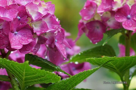 アジサイが咲いた