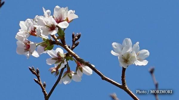 桜の花 10月末 西都原古墳群にて