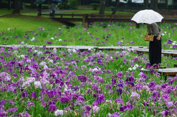 宮崎市 市民の森 花ショウブ