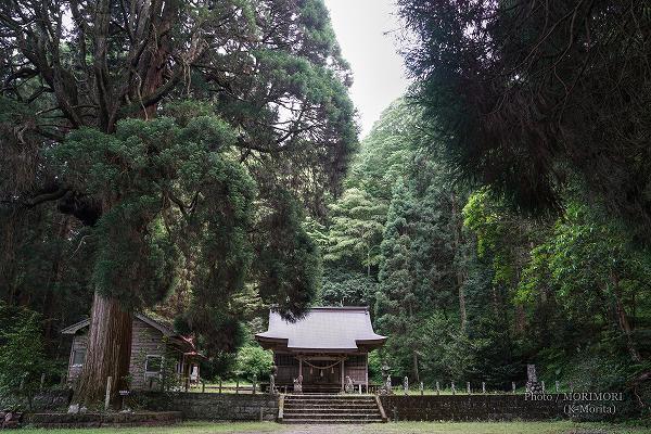 古戸野神社 巨大な御神木(杉)