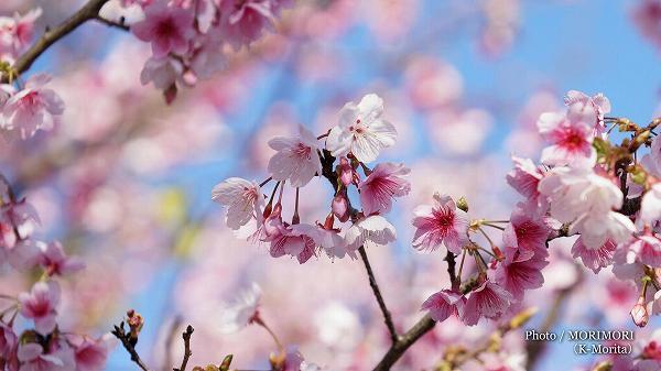 日本一の早咲き桜(日南寒咲一号)