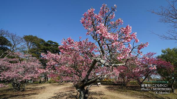 宮崎市 こどものくに 緋寒桜(寒緋桜)