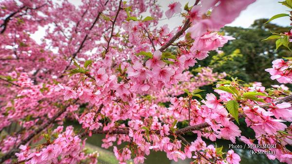 サンマリンスタジアム近くに河津桜