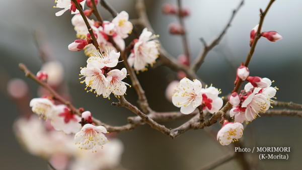 咲いていた豊後梅?