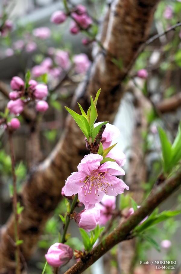 花桃が咲いた