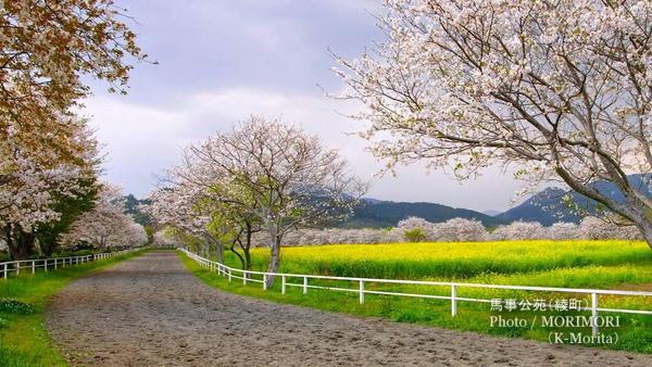 馬事公苑(綾町)の桜と菜の花