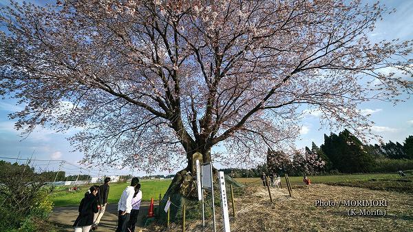 2019年 大坪の一本桜