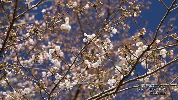 桜は三分咲程 三川内神楽まつり 1