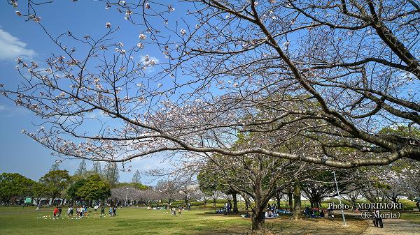 宮崎県総合文化公園の桜は三分咲き位?