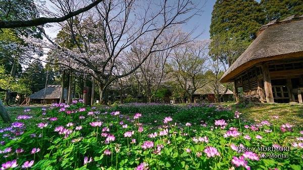 宮崎県総合博物館のレンゲ草と桜