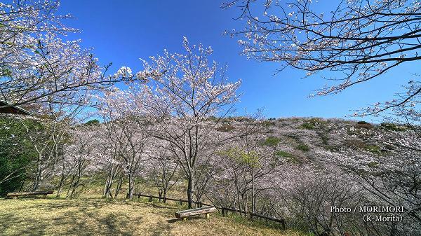 日南市 花立公園の桜 2019