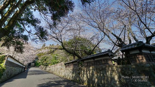 日南市 飫肥城址の桜