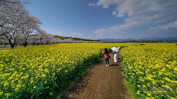 西都原古墳群の桜と菜の花