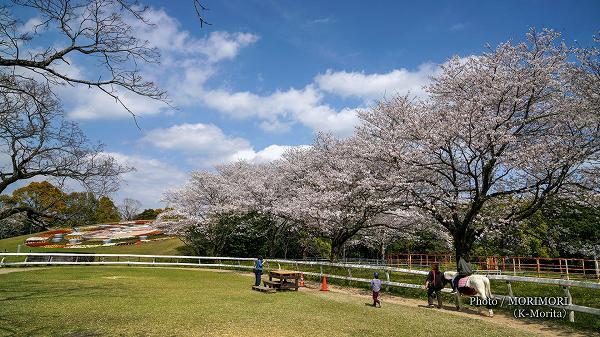 綾町 馬事公苑の桜(放牧場での引き馬体験)
