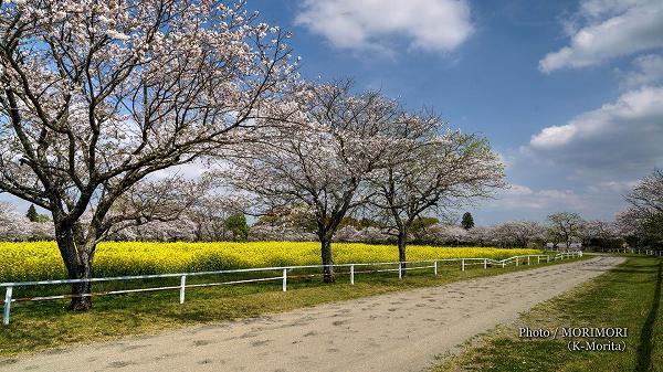 綾町 馬事公苑の桜 走路