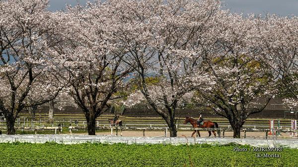 綾町 馬事公苑の桜 競技場
