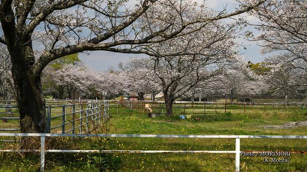 綾町 馬事公苑の桜 放牧場(道産子)