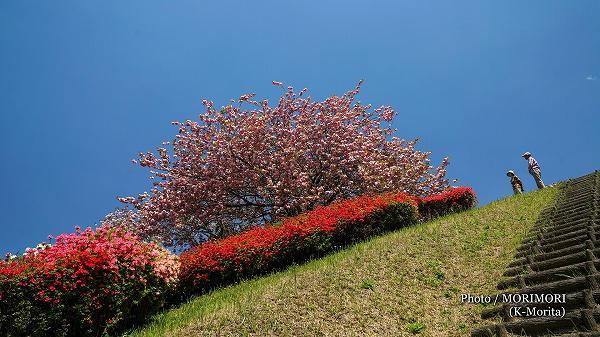 椎八重公園 八重桜とツツジ 6