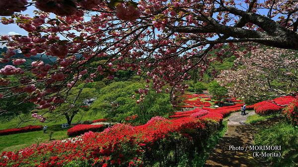 椎八重公園 八重桜とツツジ 7