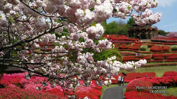 椎八重公園 八重桜とツツジ 10