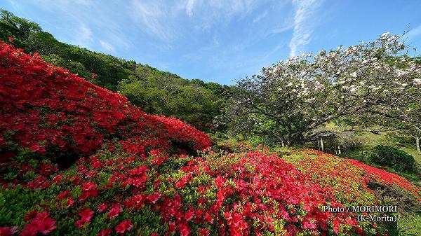 萩の茶屋のクルメツツジと八重桜