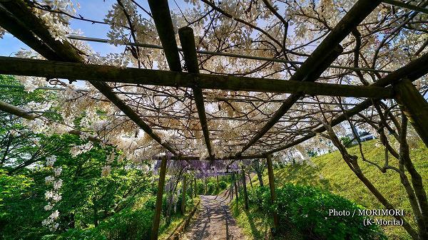 萩の茶屋のフジの花