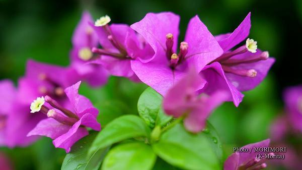 ブーゲンビリアの花(白い部分)
