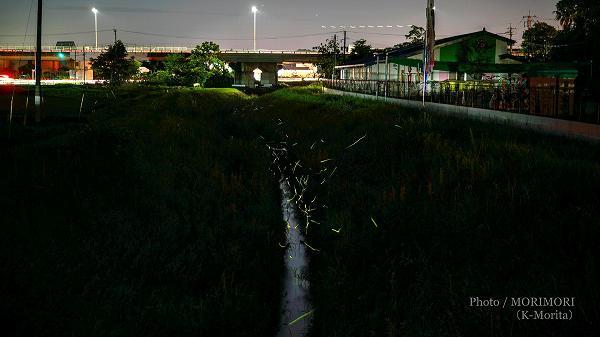 山崎川の蛍(ホタル)