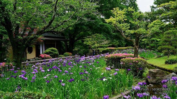 ハナショウブ 宮崎県総合運動公園 日本庭園(日向景修園)