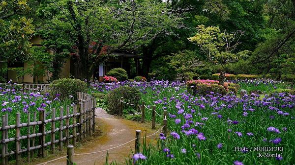 ハナショウブ 日本庭園(日向景修園)