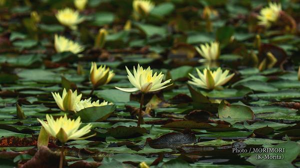 阿波岐原森林公園 みそぎ池のスイレン