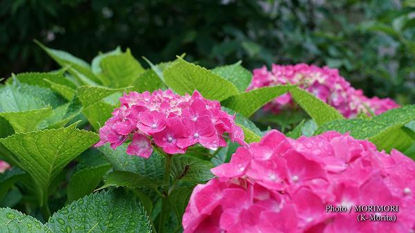 今年もアジサイが咲いた