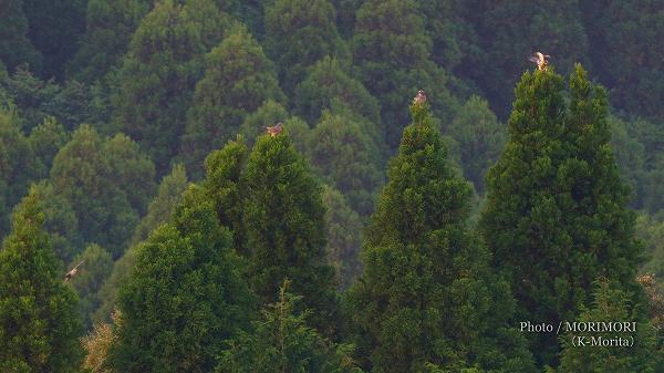 金御岳のサシバ