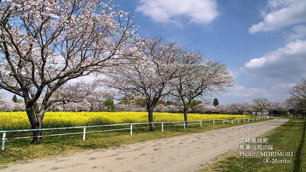 綾町 馬事公苑の桜桜と菜の花