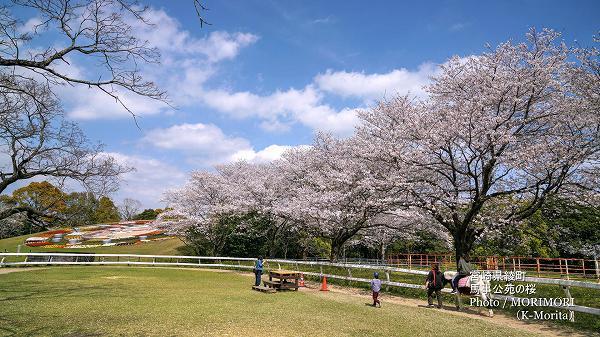 綾町 馬事公苑の桜と花時計