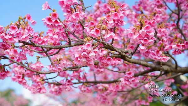 寒緋桜(こどものくに)