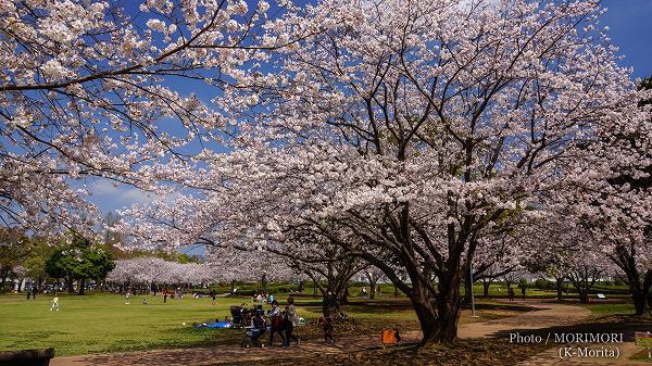 宮崎県総合文化公園の桜