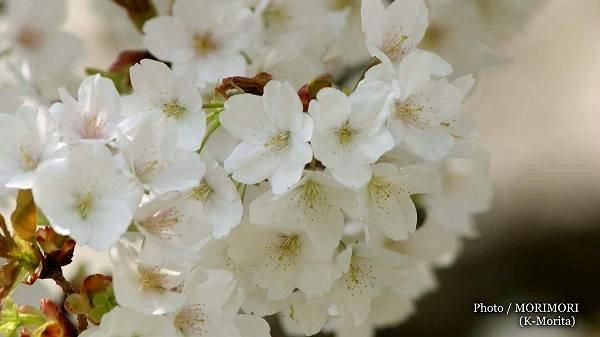 一心行の大桜(熊本市南阿蘇村一心行公園)