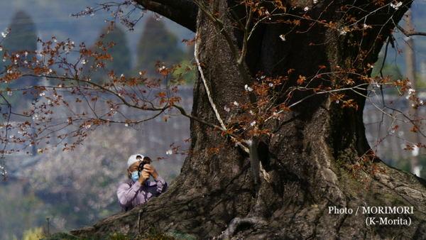 大坪の一本桜(宮崎県 国富町)