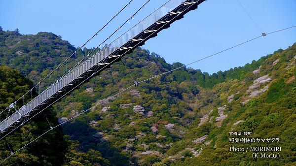 綾町 照葉大吊橋とヤマザクラ