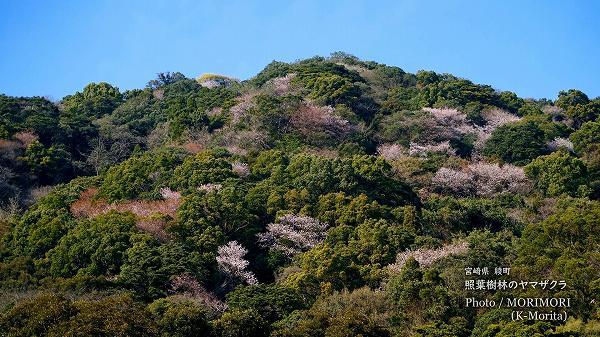 綾町 照葉樹林地帯のヤマザクラ