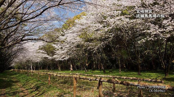 宮崎神宮 流鏑馬馬場の桜.jpg