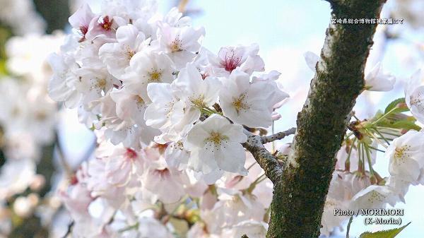 宮崎県総合博物館 民家園の桜