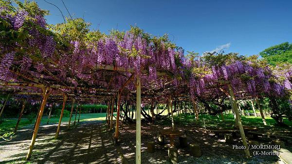 宮崎神宮のフジの花(ノダフジ)2